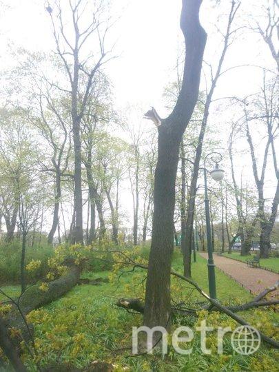 """Крупный старый клён не выдержал непогоды. Фото пресс-служба Садов Русского музея, """"Metro"""""""