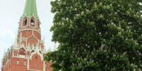 Как цветут каштаны в Москве: фото
