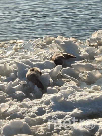 Двух нерпят спасли в марте. Фото vk.com/sealrescue, vk.com