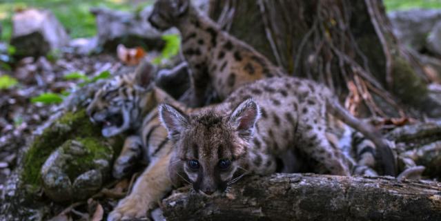 Вместе с Пандемией и Карантином в вольере живёт тигрёнок по кличке Ковид.