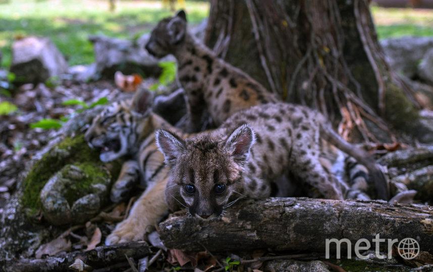 Вместе с Пандемией и Карантином в вольере живёт тигрёнок по кличке Ковид. Фото AFP
