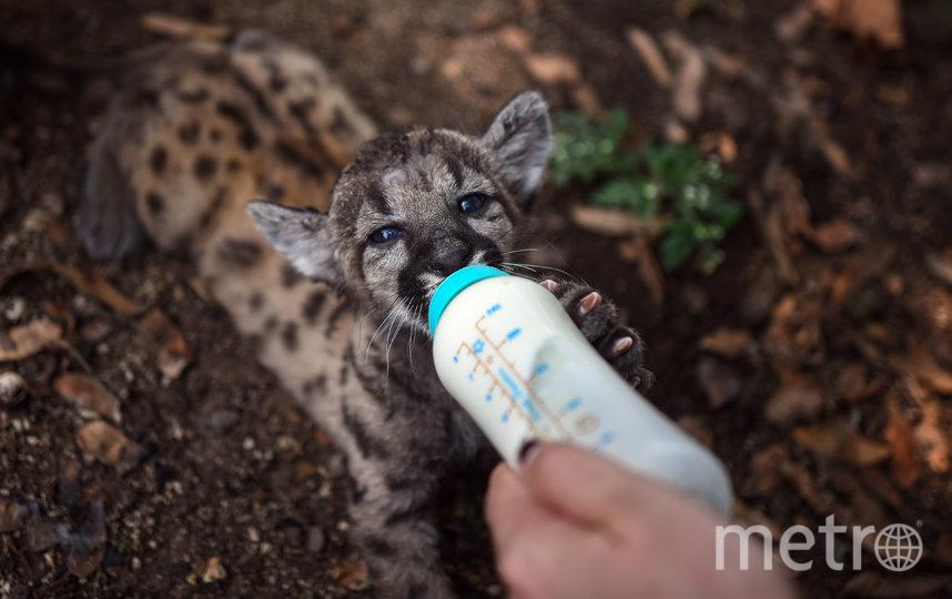 В мексиканском зоопарке родились пумы Пандемия и Карантин. Фото AFP