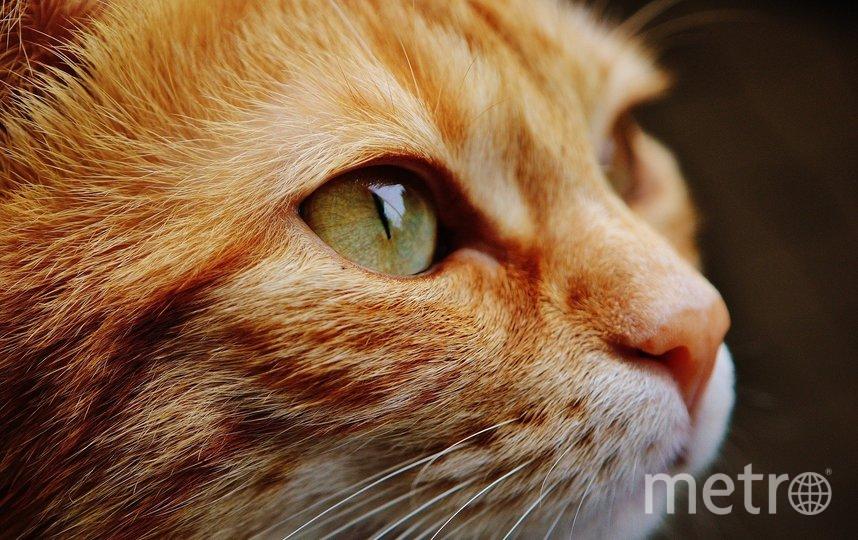 Кошка, у которой обнаружили коронавирус, уже помещена на карантин. Фото pixabay.com