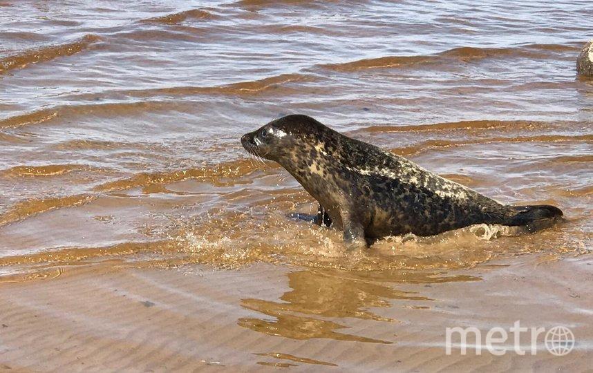 """В Балтийское море вернулся тюлень Адмирал. Фото Водоканал, """"Metro"""""""