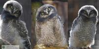 Для совят из Ленинградского зоопарка выбрали имена