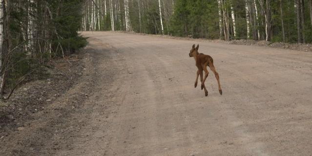 По словам специалистов, весной и в начале лета на дороги выходят годовалые лоси, которые начинают взрослую жизнь , и недавно родившиеся лосята.