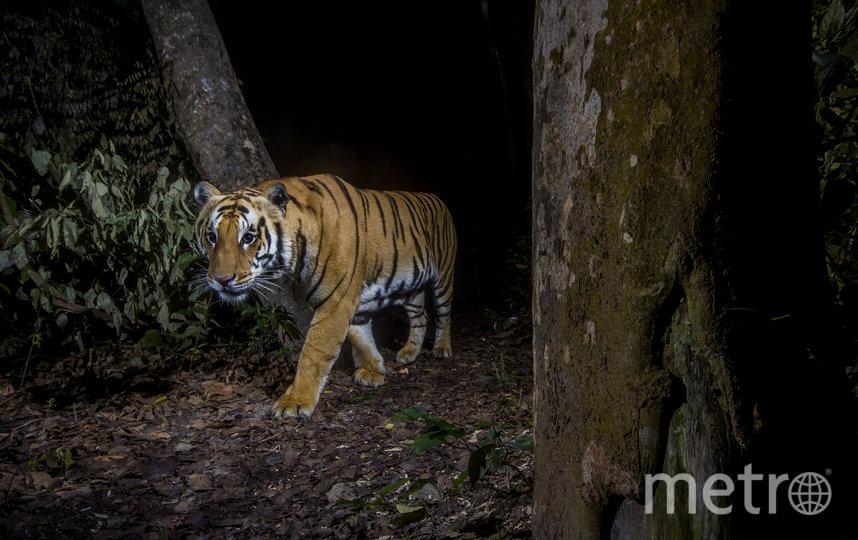 Тигр в Национальном парке Бардия, Непал. Фото Эммануэль Рондо, WWF-US, Предоставлено организаторами