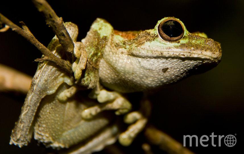 Зеленоглазая древесная лягушка. Квинсленд, Австралия. Фото Эрик Фишел, Предоставлено организаторами