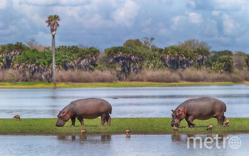 Бегемоты гуляют рядом с рекой Селус в Танзании. Фото Майкл Полиза, Предоставлено организаторами