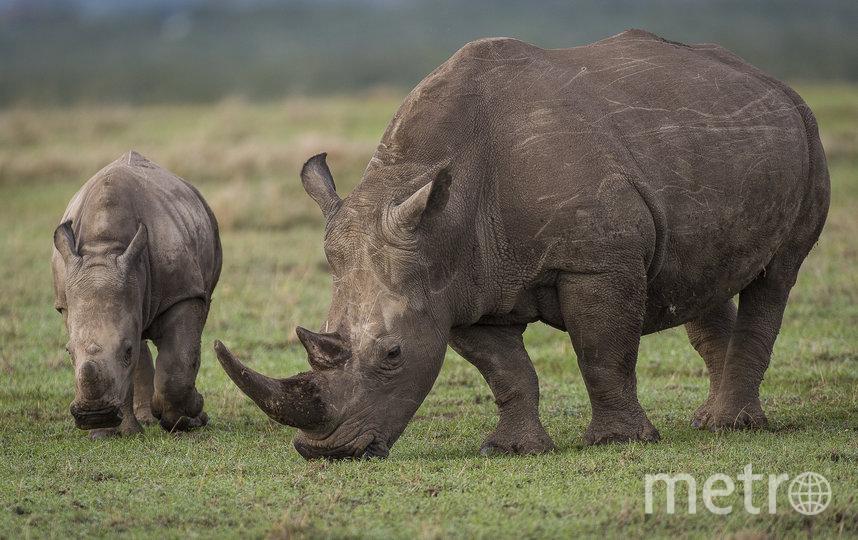 Южный белый носорог пасётся вместе с детёнышем в заповеднике Ол Педжета. Кения, Африка. Фото Ола Йеннерстен.WWF-SWEDEN, Предоставлено организаторами