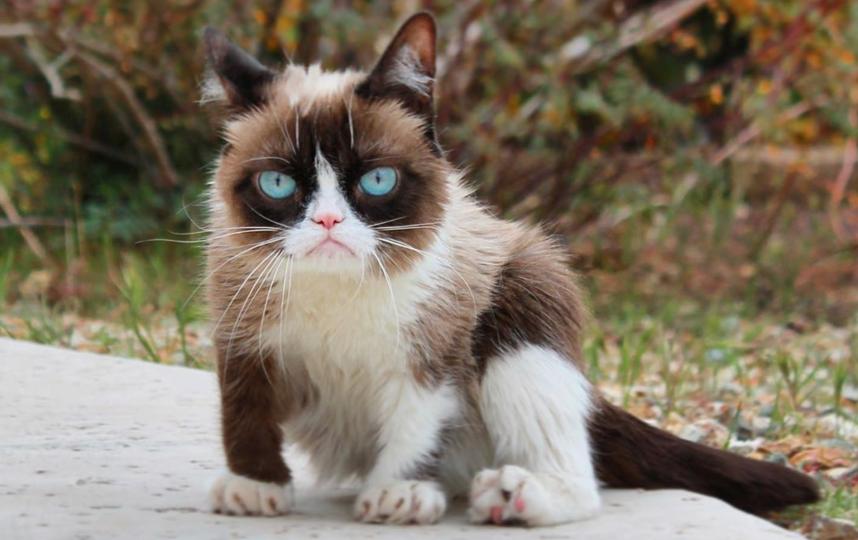 Оригинальная кошка Grumpy Cat, настоящая кличка — Соус Тардар. Фото instagram.com/realgrumpycat
