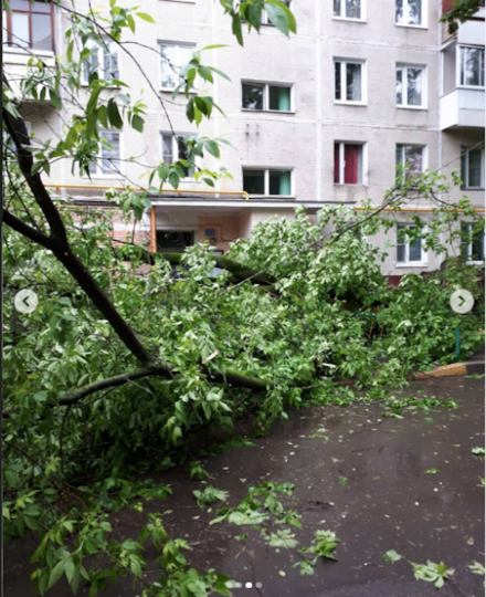 Это дерево уже распилили, вывоз запланирован на 5 июня. Фото скриншот Instagram @pavtip