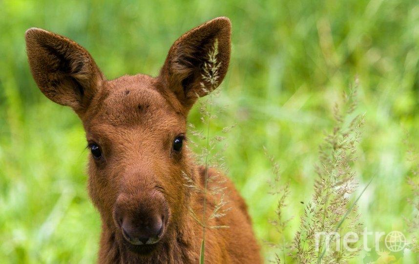 К людям этой весной выходят не только взрослые лоси, но и их детёныши. Фото elkisland.ru