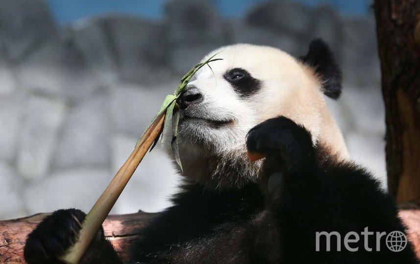 Панды в Московском зоопарке набрали за год по 20 кг. Фото Василий Кузьмичёнок