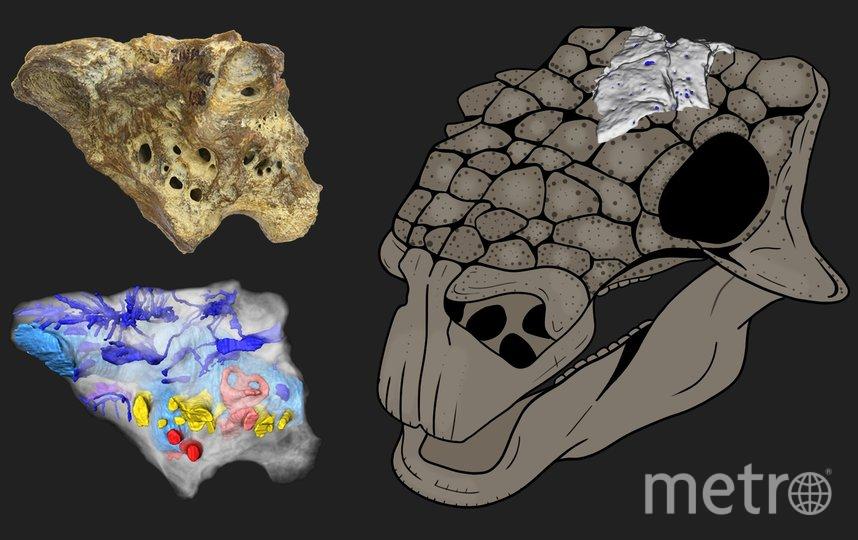 """Реконструкция черепа анкилозавра Bissektipelta archibaldi и примерное положение изученного образца ZIN PH 1/16. Фото предоставили авторы исследования, """"Metro"""""""