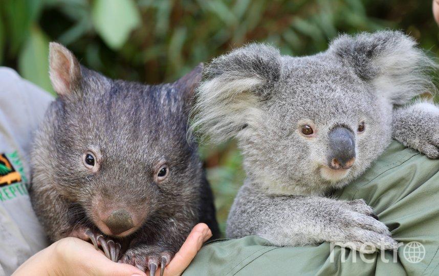 Коала Эльза и вомбат Хоуп. Фото The Australian Reptile Park