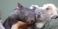 В Австралии коала и вомбат стали лучшими друзьями во время пандемии