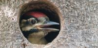 Как заботливые дятлы воспитывают птенцов: фоторепортаж из парка Сосновка в Петербурге