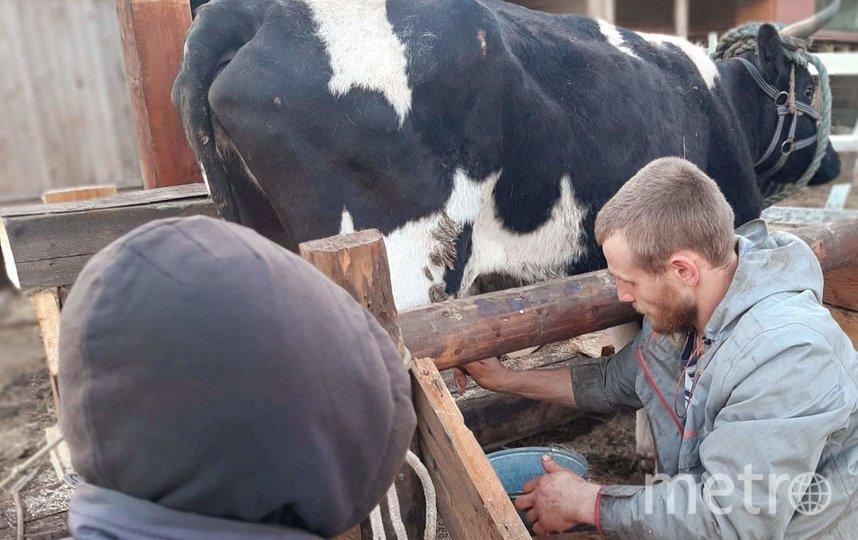 Корова Императрица перепрыгнула через метровую ограду. Фото oldbeloostrov, vk.com