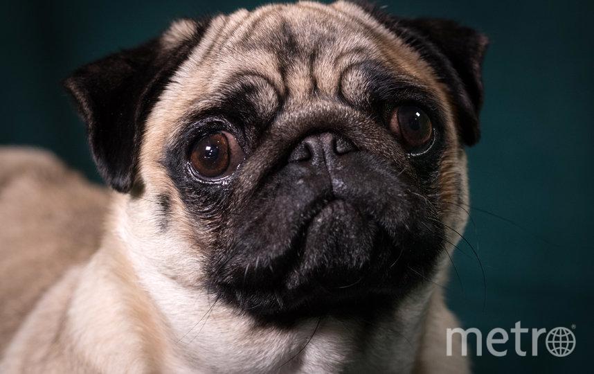 """Мопсы подвержены риску возникновения болезней из-за жары из-за """"плоских"""" мордочек. Фото Getty"""