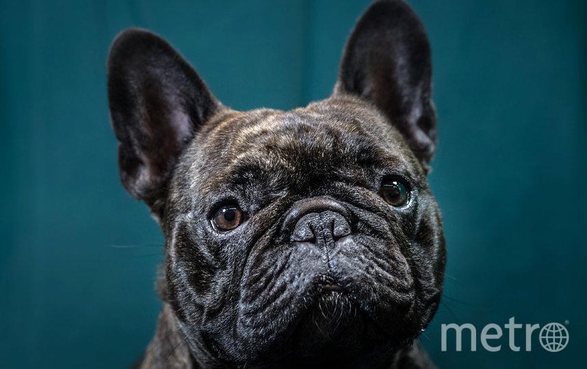 """Французские бульдоги входят в группу псов с """"плоскими"""" мордочками. Поэтому за ними необходимо следить внимательно. Фото Getty"""