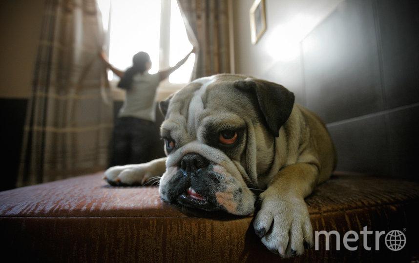 Английские бульдоги, как и их французские родственники, очень устают от жары и могут даже заболеть. Фото Getty
