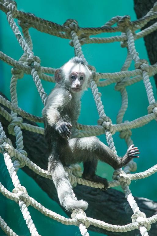 Цепкохвостые обезьяны в столичном зоосаде. Фото Пресс-служба Московского зоопарка