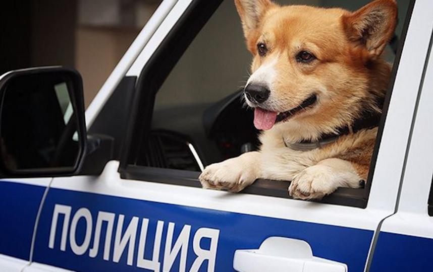 Корги-полицейский по кличке Рыжий. Фото скриншот: instagram.com/corgi_police_dog/
