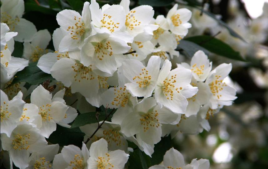 """В июле ожидается цветение чубушников и роз. Фото Культурно-просветительский центр БИН РАН, """"Metro"""""""