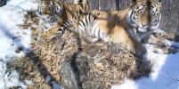 Тигр Борис, которого выпустил в тайгу Путин, стал многодетным отцом