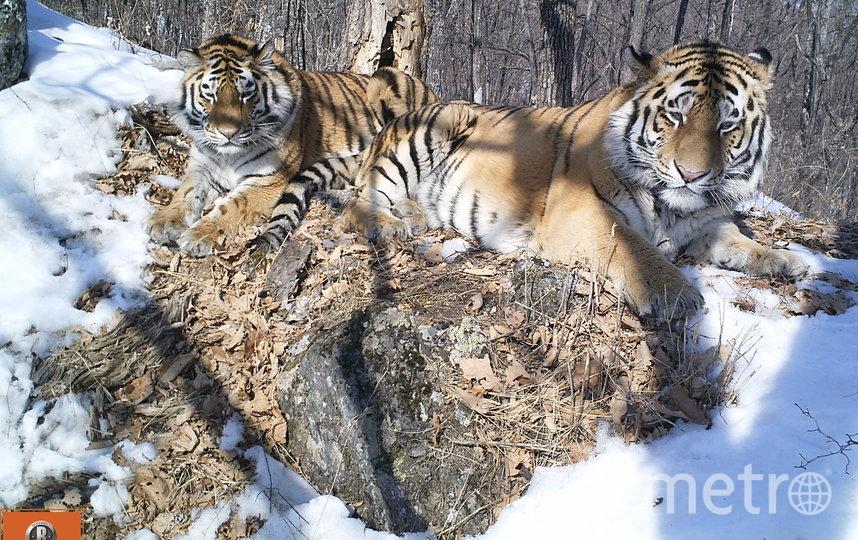 """Семейный снимок, полученный с помощью фотоловушки. Светлая (слева)  и Борис. Фото предоставлено центром """"Амурский тигр"""""""