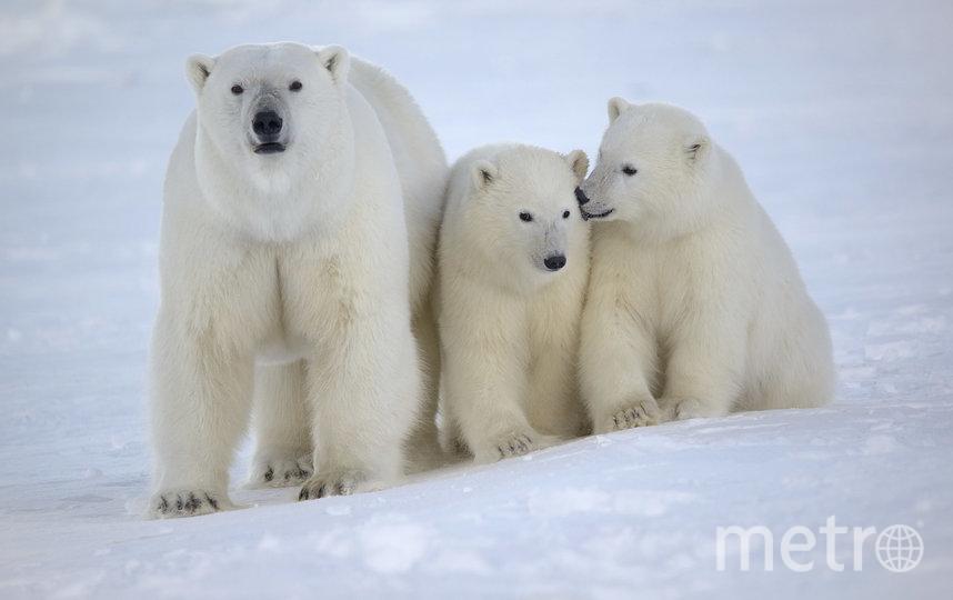 Самка белого медведя с медвежатами. Впервые медведица рождает одного детёныша в пяти-шестилетнем возрасте, в последующем у неё, скорее всего, рождается по два медвежонка один раз в три года. Самки, имеющие маленьких медвежат, стараются не попадаться на глаза крупным самцам, которые, будучи голодными, охотятся на детёнышей. Если же встречи не избежать, медведица будет отчаянно защищать своих малышей. Фото Максим Дёминов / WWF России