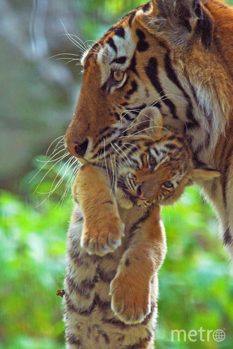 На фото – самка амурского тигра с тигренком. Амурские тигры размножаются раз в два года. Через 3-4 месяца тигрица выводит от двух до четырех тигрят. Сначала мать кормит детенышей молоком, мясо они пробуют только в два месяца. Круглосуточно мать находится рядом с детьми только первую неделю, потом она отлучается на охоту. До двух лет тигрица учит малышей добывать пищу, они живут с ней. Зрелыми тигрята становятся к трем-четырем годам. Фото naturepl.com / Edwin Giesbers / WWF
