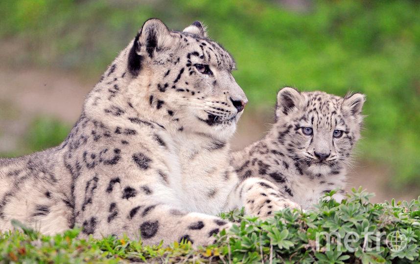В апреле—июне у самок снежного барса рождается от двух до пяти детенышей. Первые дни они спят, прижавшись друг к другу. На шестой-девятый день у малышей открываются глаза, на десятый они начинают ползать по логову. Большая радость – обнаружить во время учетов снежного барса самку с котятами: это означает, что у популяции есть шансы на выживание. Фото Tambako The Jaguar / Flickr.com