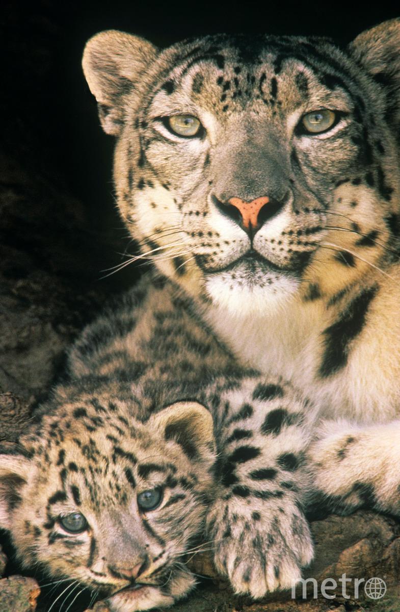 Самка снежного барса и ее детеныш. Обычно барсиха рождает от 1 до 4-х котят, которые остаются с мамой на протяжении 18, а то и 22 месяцев. Фото David Lawson / WWF-UK