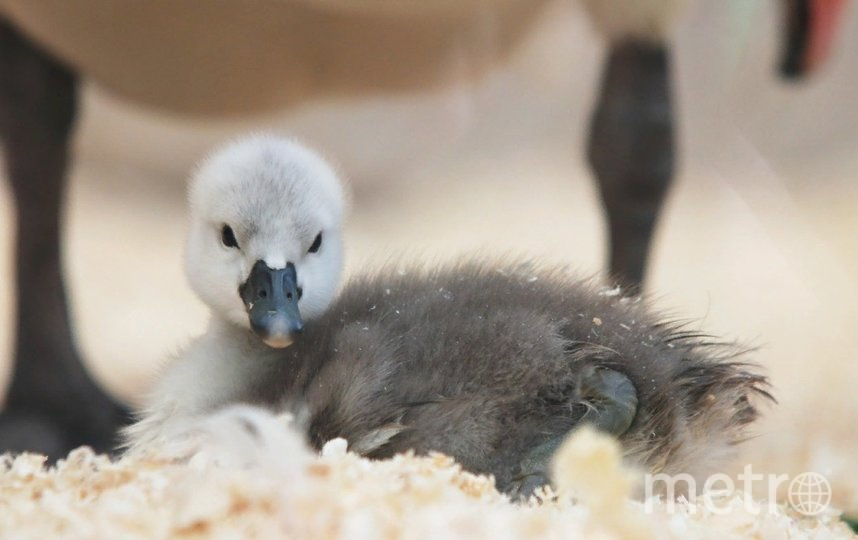 Лебеденок только начинает познавать окружающий мир. Фото vk.com/spbzoopark., vk.com
