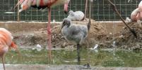 В Московском зоопарке вылупились птенцы розовых и красных фламинго