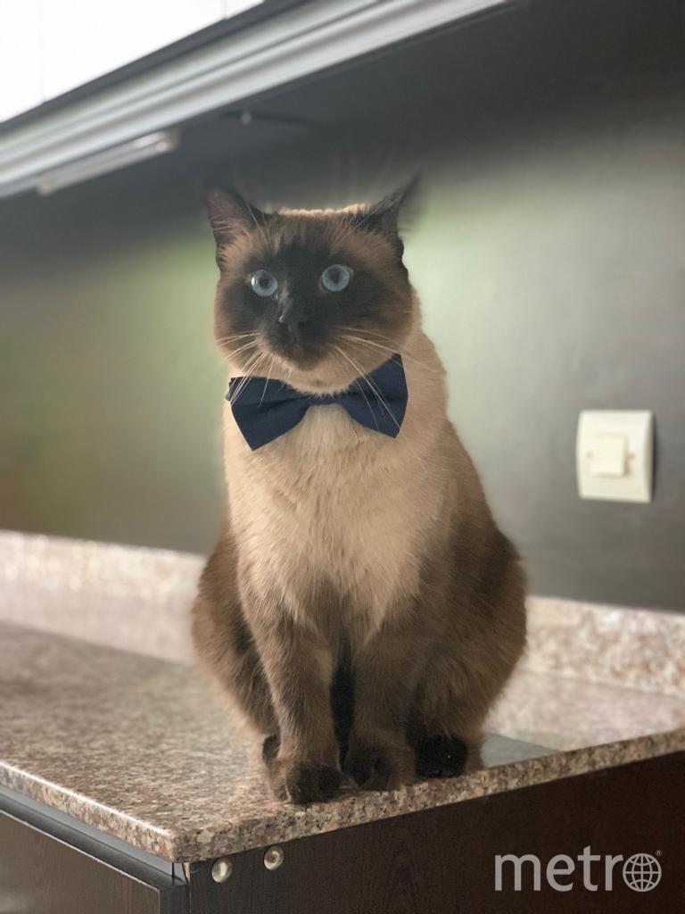 """фото кота Мартина, это какая-то кошачья супермодель, очень артистичен, любит фотографироваться и участвовать во всех домашних делах. Фото """"Metro"""""""
