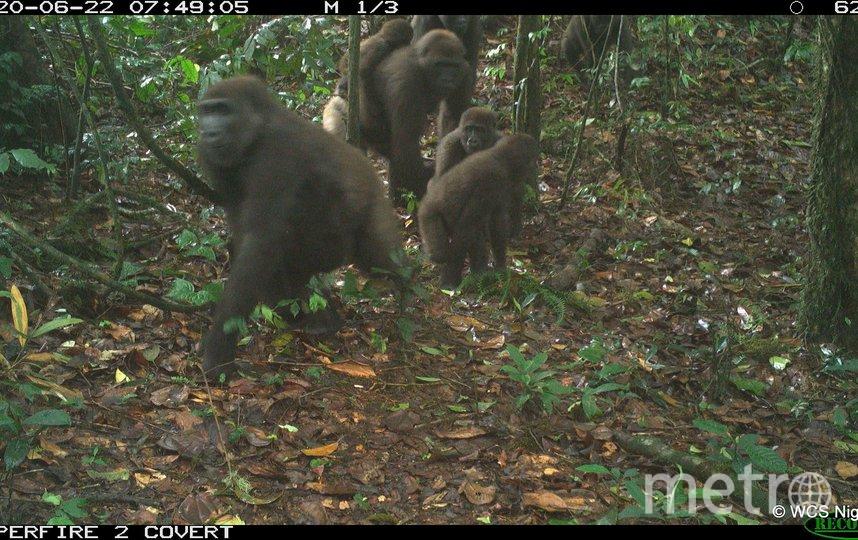 Всего в дикой природе обитает около 300 речных горилл. Фото stephen sautner (WCS - Communications)