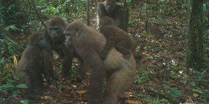 В Нигерии сделали семейные фото редких речных горилл