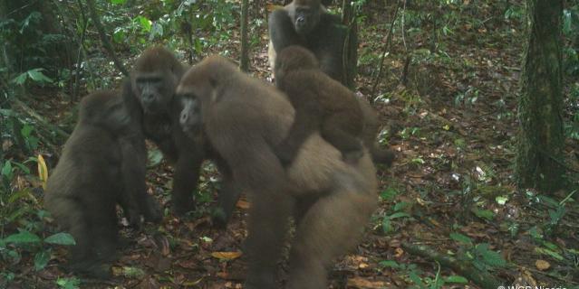 Всего в дикой природе обитает около 300 речных горилл.