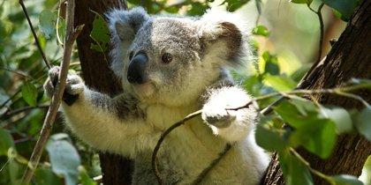 Коалы могут вымереть в одной из частей Австралии