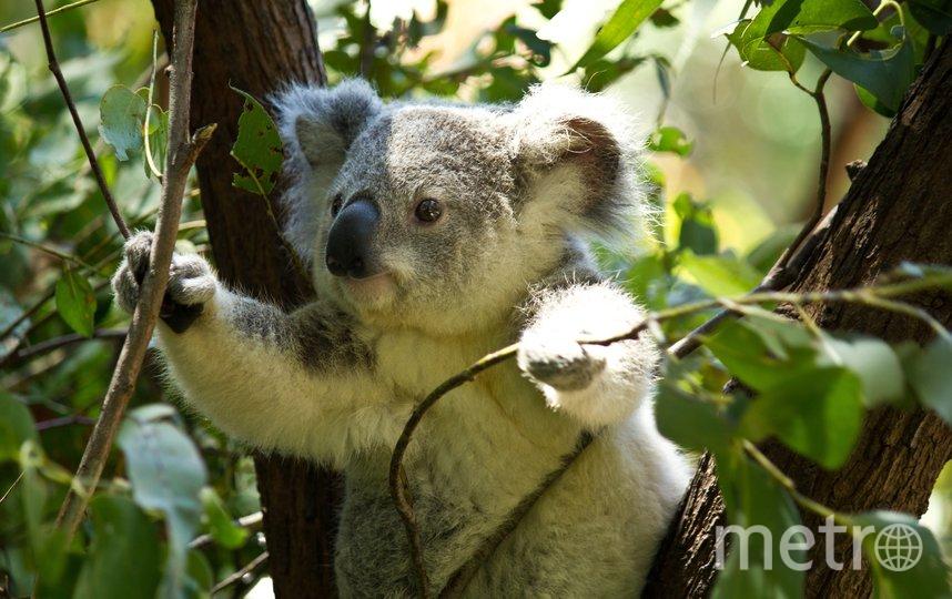 """По словам ведущего исследователя Гранта Хамильтона, """"популяция коал находится в беде с начала 2019 года"""". Фото предоставлено Квинслендским технологическим университетом"""