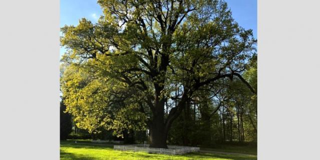 300-летний дуб.