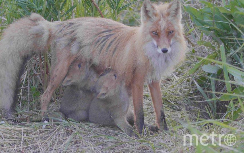 исье семейство, за которым сейчас следят скрытые телекамеры, состоит из взрослой лисы (4–5 лет), её молодого мужа и четверых лисят. Фото Дмитрий Шпиленок