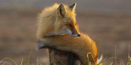 Необычное семейство лис расскажет о Камчатке