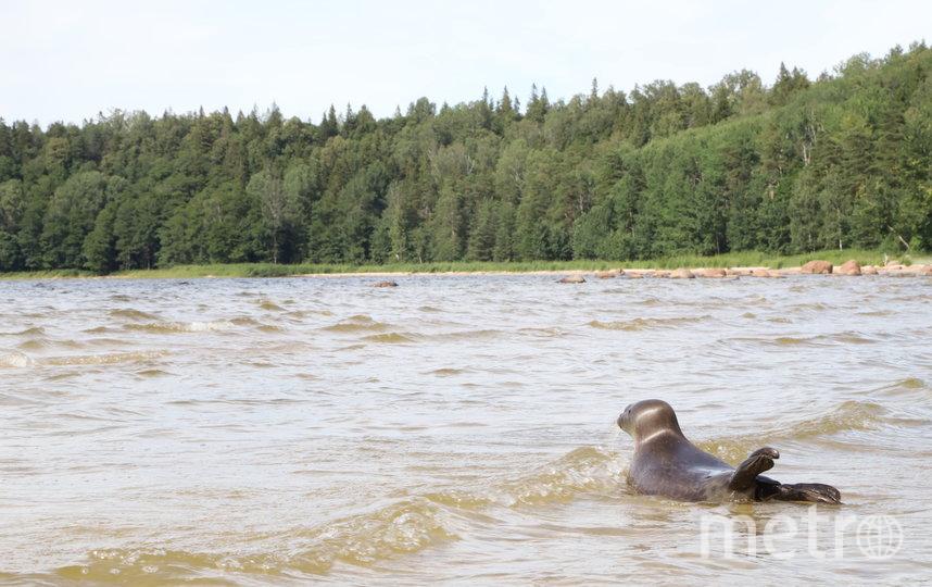 """В Финский залив 15 июля выпустили трех нерп и серого тюлененка. Фото """"Фонд друзей балтийской нерпы"""", """"Metro"""""""