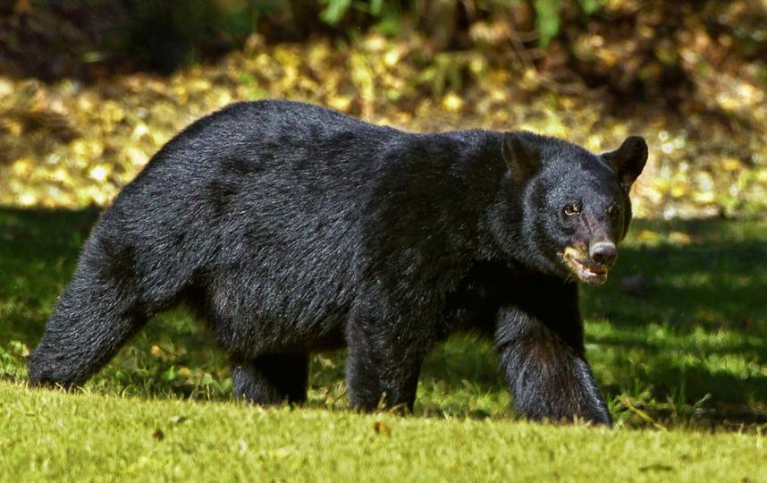 Хищника выследили сотрудники Управления парков и дикой природы Колорадо. Барибал (черный медведь). Архивное фото. Фото pixabay.com