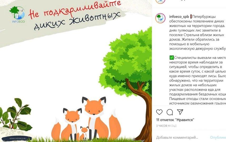 Дикие животные часто стали посещать жилые районы. Фото instagram.com/infoeco_spb/.