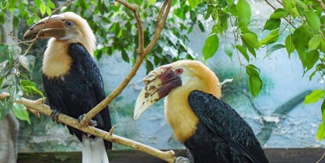 Папуанские птицы-носороги обитают в Новой Гвинее, на архипелаге Бисмарка, Соломоновых и Молуккских островах.
